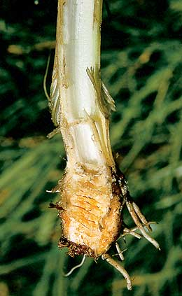 Water hemlock root